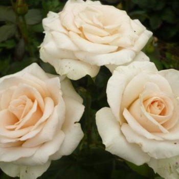 Роза Океан Клер-2