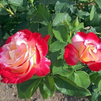 Роза Дабл Делайт-2