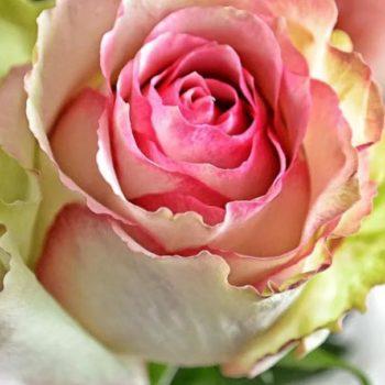 Роза Дансинг Квин-1