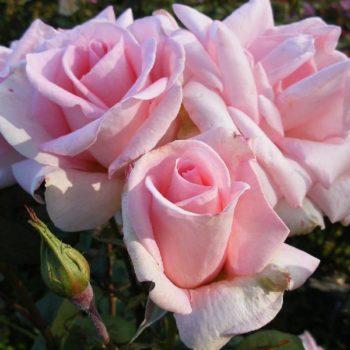 Роза Дезире-2