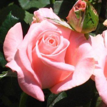 Роза Дезире-1