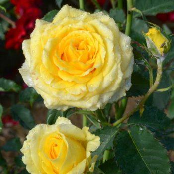 Роза Диана-2