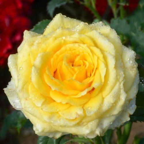 Роза Диана