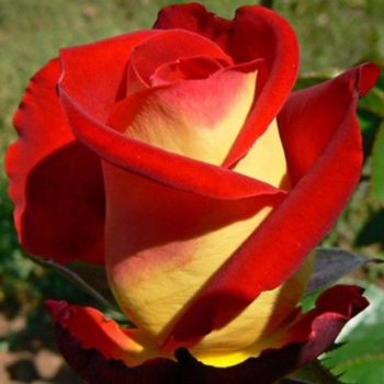 Роза Френдшип-1