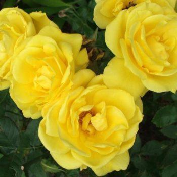 Роза Фрезия-2