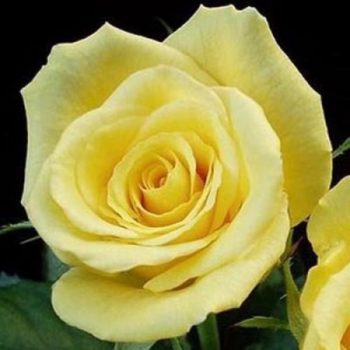 Роза Фриско-1