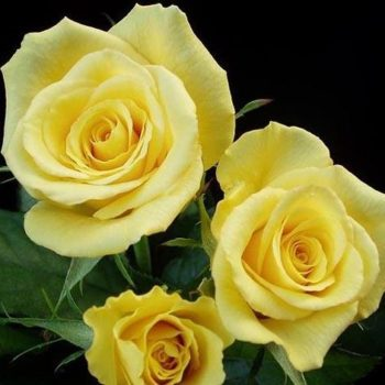 Роза Фриско-2