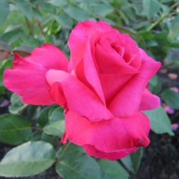 Роза Джиральдо-1