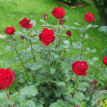 Роза Гранд Гала-2