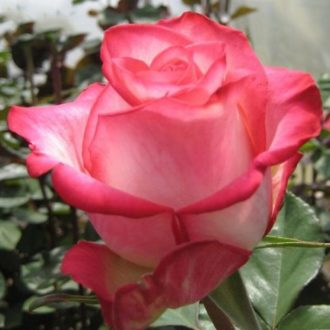 Роза Хай энд Мия