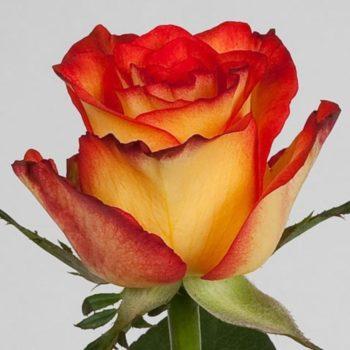 Роза Хай Меджик-2