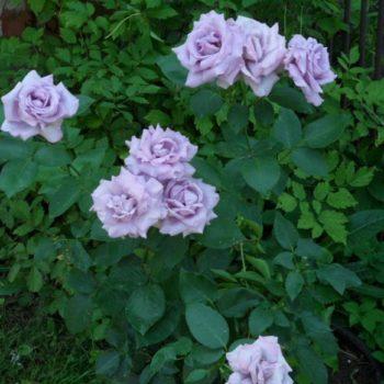Роза плетистая Индиголетта-2