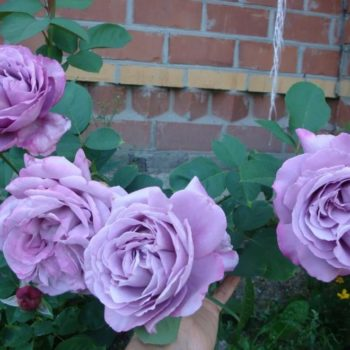 Роза плетистая Индиголетта-1