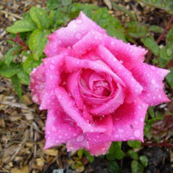 Роза Джакаранда-2