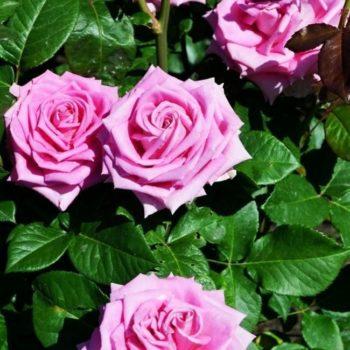 Роза Аква-2