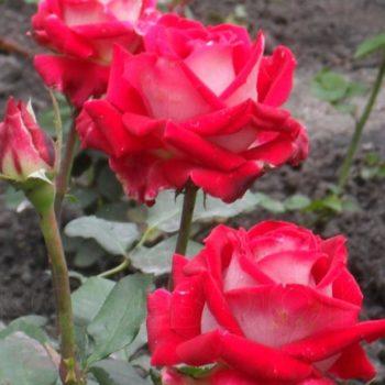 Роза Люксор-2