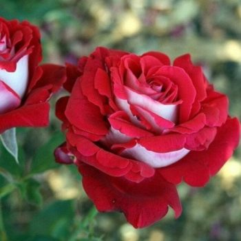 Роза Люксор-1