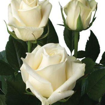 Роза Магади-2