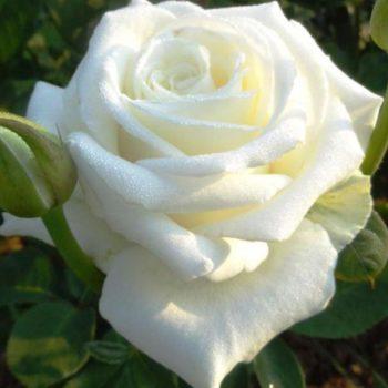 Роза Маруся-2