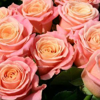 Роза Мисс Пигги-2