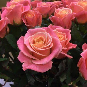 Роза Мисс Пигги-1