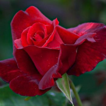 Роза Мистер Линкольн-2