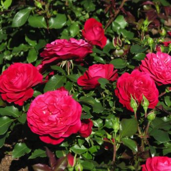 Роза Мона Лиза-2