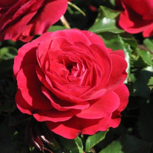 Роза Мона Лиза