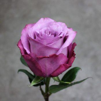 Роза Муди Блюз-2