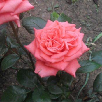 Роза Муви Стар-2