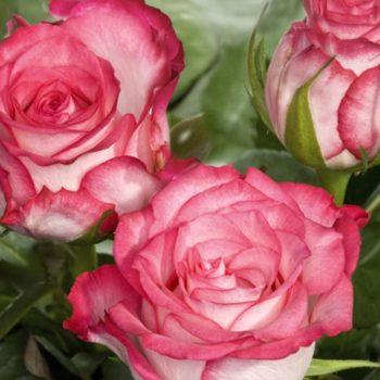 Роза Н-Джой-2