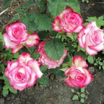 Роза Н-Джой-1