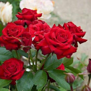 Роза Никколо Паганини-2