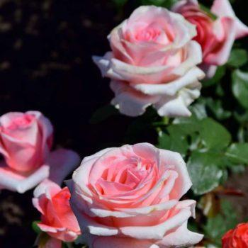 Роза Нобилис-2