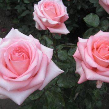 Роза Нобилис-1