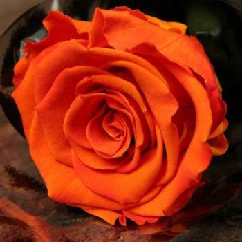 Роза Оранж Джус-2