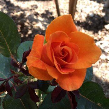 Роза Оранж Джус-1