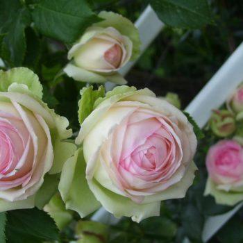 Роза Пьер де Ронсар-2