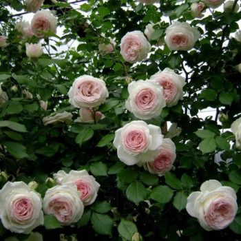 Роза Пьер де Ронсар-1