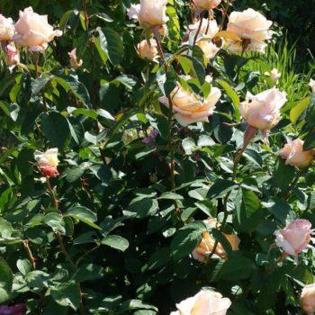 Роза плетистая Примадонна-2