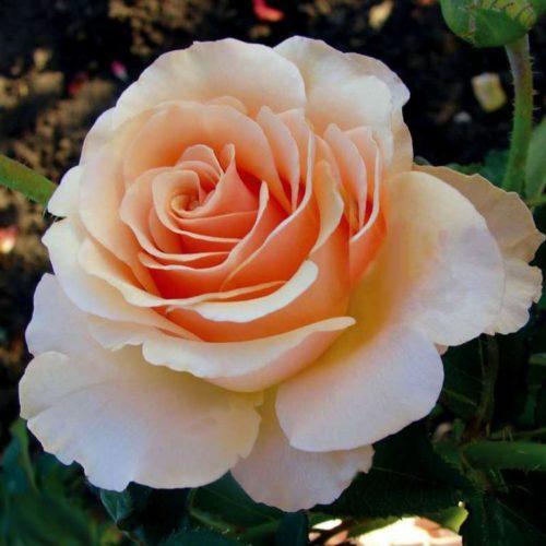Роза плетистая Примадонна