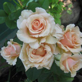 Роза плетистая Примадонна-1