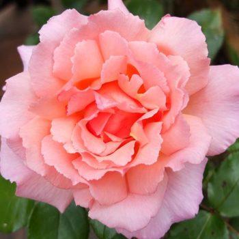 Роза Компассион-2