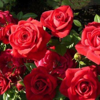 Роза Дебют-2