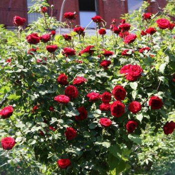 Роза Дон Жуан-2