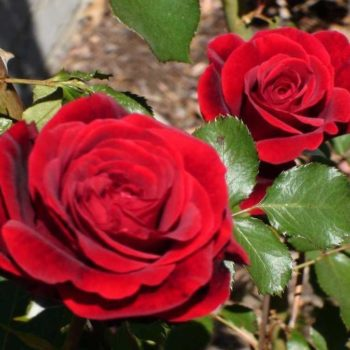 Роза Дон Жуан-1