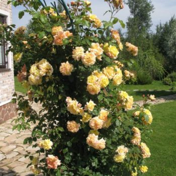 Роза Голден Парфюм-2