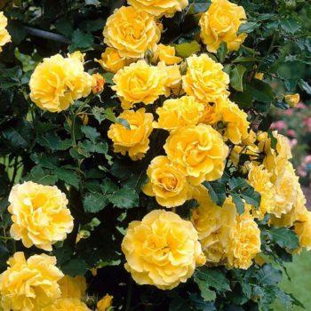 Роза Голден Парфюм-1