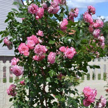 Роза Хендель (Handel)-2