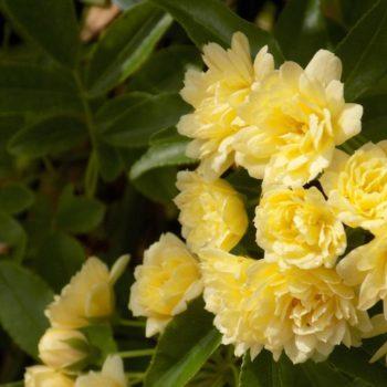 Роза Лютеа Плена-2